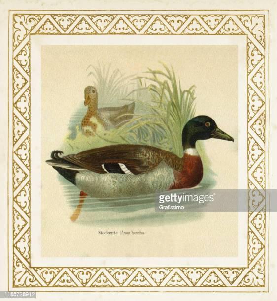 mallard duck anas boschas illustration 1897 - mallard duck stock illustrations