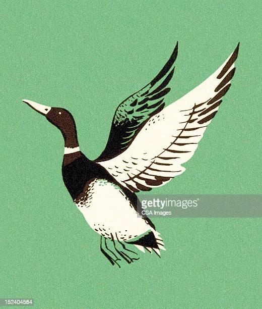 ilustraciones, imágenes clip art, dibujos animados e iconos de stock de ánade real flying - alas desplegadas