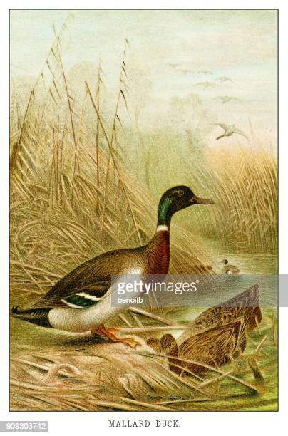mallard duck - mallard duck stock illustrations