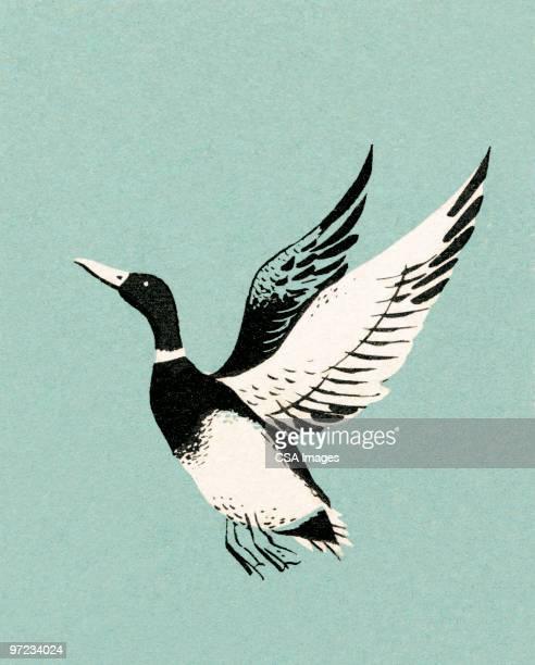 mallard duck - duck bird stock illustrations