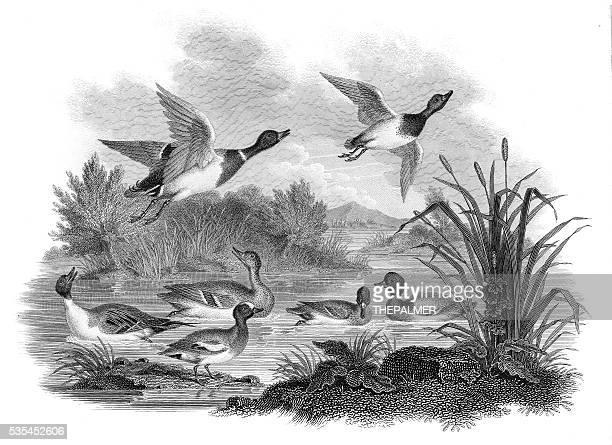 mallard ducks engraving 1812 - duck stock illustrations, clip art, cartoons, & icons
