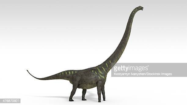 Mamenchisaurus dinosaur, white background.