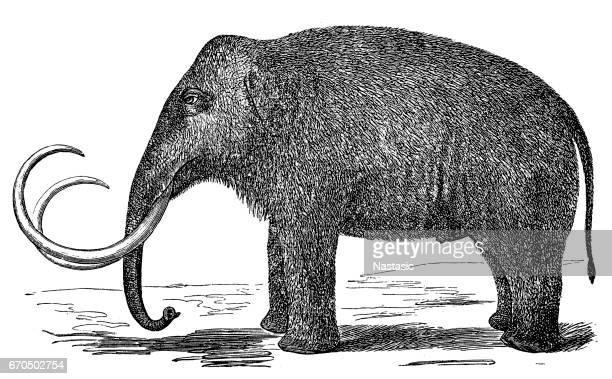 Mammoth (elephas primigenius)