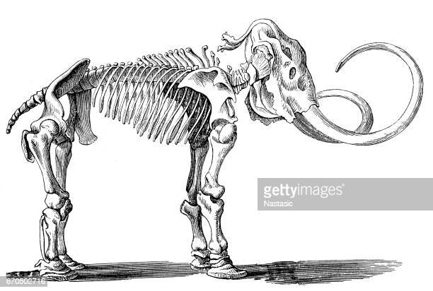 mammoth skeleton (elephas primigenius) - fossil stock illustrations, clip art, cartoons, & icons