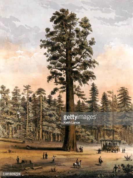 mammoth tree grove of calaveras county, california - lithograph stock illustrations