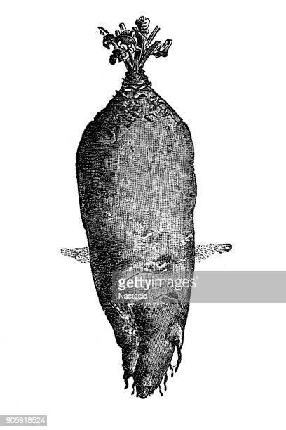 Mammoth turnip