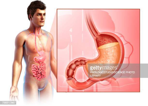 illustrations, cliparts, dessins animés et icônes de man with stomach acidity, illustration - organe interne humain