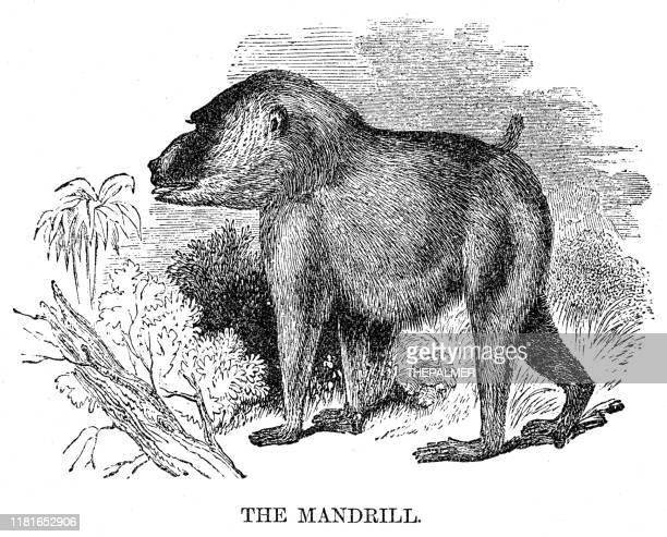 mandrill engraving 1869 - mandrill stock illustrations, clip art, cartoons, & icons