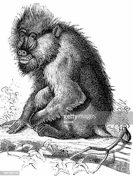 mandrill (papio mormon) - mandrill stock illustrations, clip art, cartoons, & icons