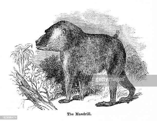 mandrill - mandrill stock illustrations, clip art, cartoons, & icons
