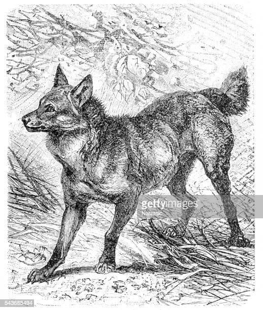 Maned wolf (Canis jubatus)