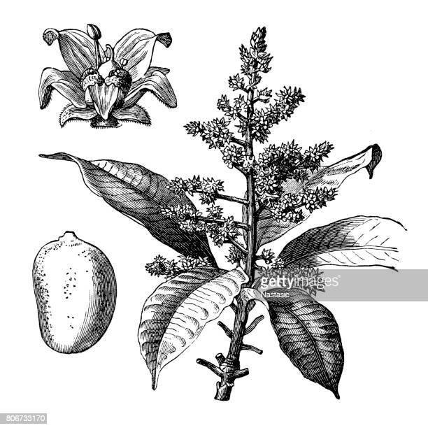 mangifera indica, commonly known as mango - mango fruit stock illustrations, clip art, cartoons, & icons
