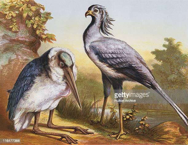 illustrations, cliparts, dessins animés et icônes de marabou and secretarybird - marabout