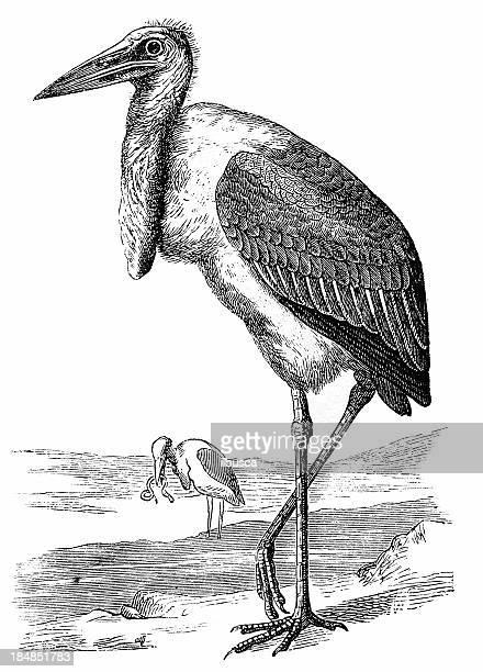 illustrations, cliparts, dessins animés et icônes de marabout d'afrique (leptoptilos crumeniferus - marabout