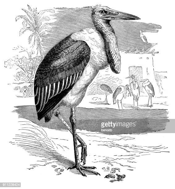 illustrations, cliparts, dessins animés et icônes de marabout d'afrique - marabout
