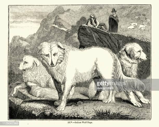 illustrazioni stock, clip art, cartoni animati e icone di tendenza di maremma sheepdog, 19th century engraving - pastore maremmano