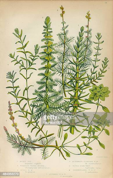 mares tail, horsetail, water milfoil and starwort, victorian botanical illustration - chickweed stock illustrations, clip art, cartoons, & icons