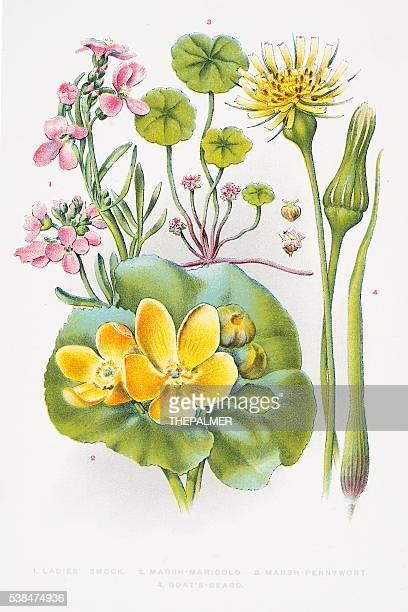 marigold and pennywort engraving - buttercup stock illustrations, clip art, cartoons, & icons