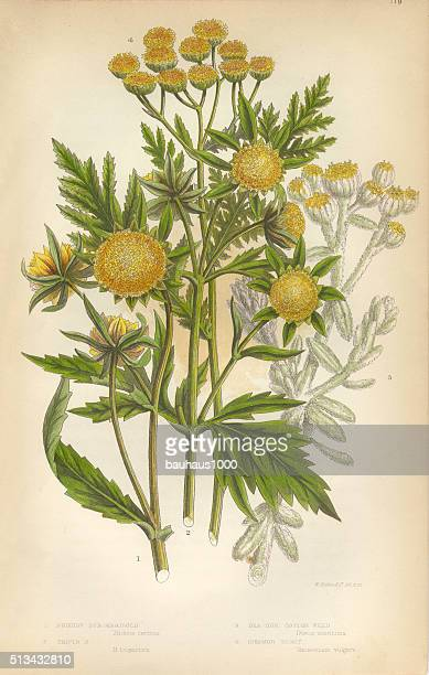 marigold, cottonweed, sunflower, tansy, victorian botanical illustration - tansy stock illustrations
