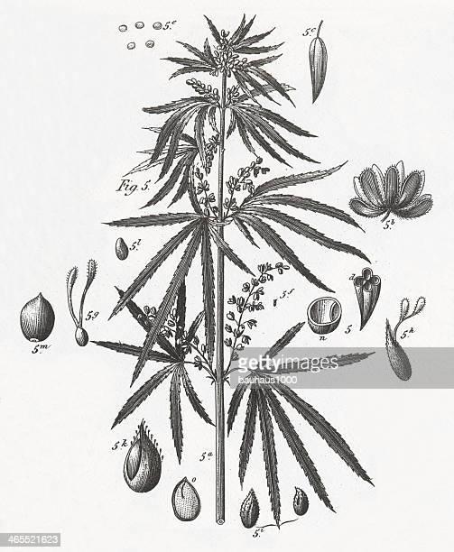 marijuana plant engraving - cannabis narcotic stock illustrations, clip art, cartoons, & icons