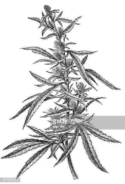marijuana plant - hashish stock illustrations, clip art, cartoons, & icons