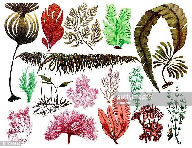 ilustrações, clipart, desenhos animados e ícones de marine plants, leaves and seaweed ,coral - organismo aquático