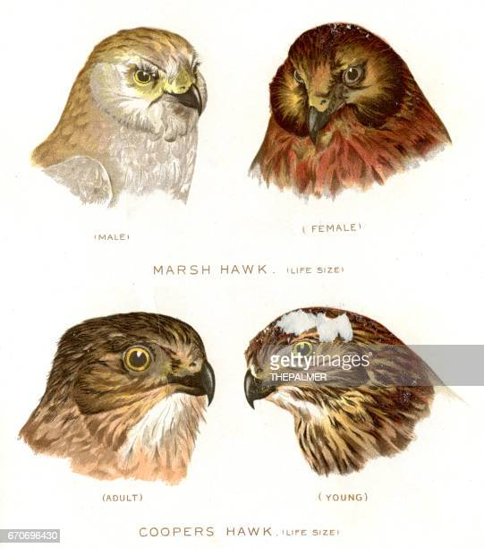 marsh and Cooper hawk birds lithograph 1897