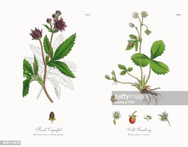 marsh cinquefoil, potentilla comarum, victorian botanical illustration, 1863 - plant bulb stock illustrations, clip art, cartoons, & icons