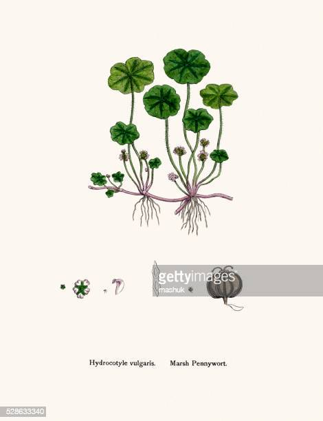 marsh pennywort medicinal plant against leprosy, ulcers, wounds, whooping cough - leprosy stock illustrations