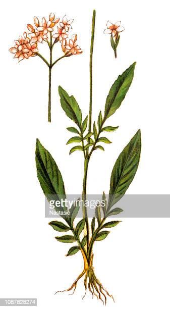 marsh valerian (valeriana dioica) - valerian stock illustrations