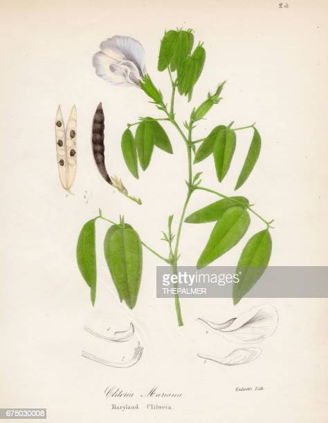 Maryland Butterfly-pea botanical engraving 1843
