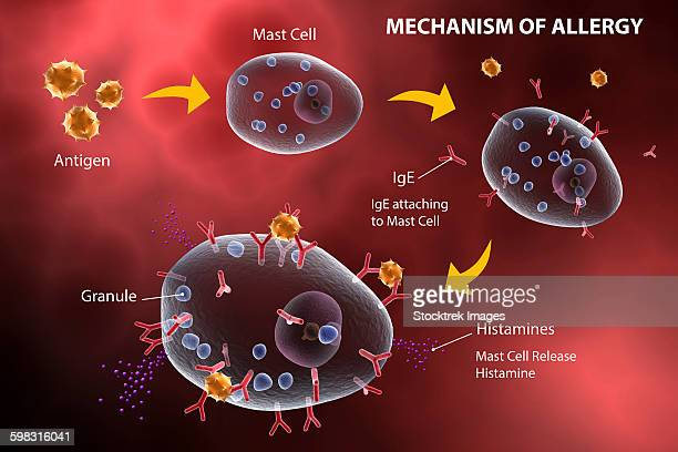 Mast cell releasing histamine due to allergic reaction.