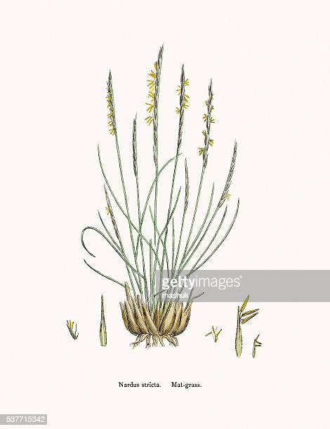 Matgrass used against fever and as tonic