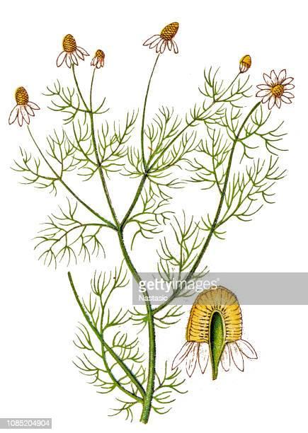 ilustraciones, imágenes clip art, dibujos animados e iconos de stock de matricaria chamomilla, conocida comúnmente como manzanilla, camomila, manzanilla alemana, manzanilla o camomila perfumada olor - planta de manzanilla