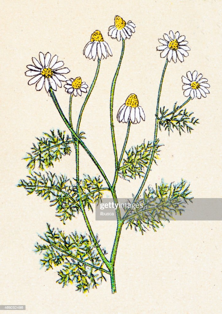 Matricaria chamomilla (Matricaria recutita), plants antique illustration : Stock Illustration