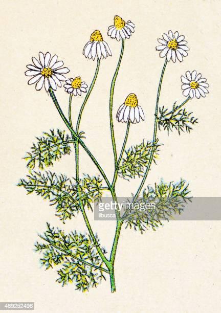 ilustraciones, imágenes clip art, dibujos animados e iconos de stock de matricaria chamomilla (matricaria recutita), las centrales antiguas medio - planta de manzanilla