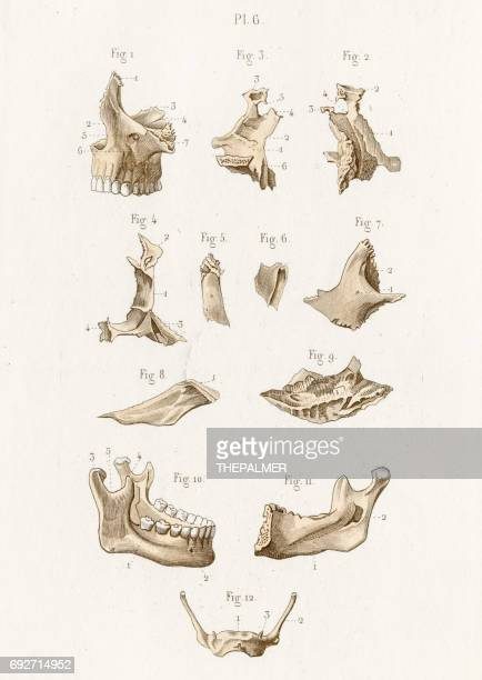 Ilustraciones de Stock y dibujos de Hueso Maxilar Humano | Getty Images
