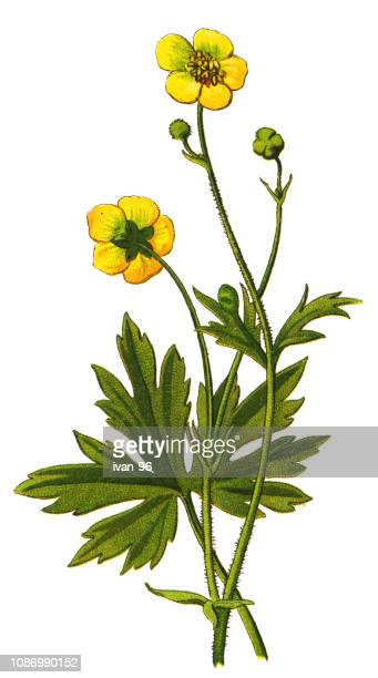 meadow buttercup, tall buttercup - buttercup stock illustrations, clip art, cartoons, & icons