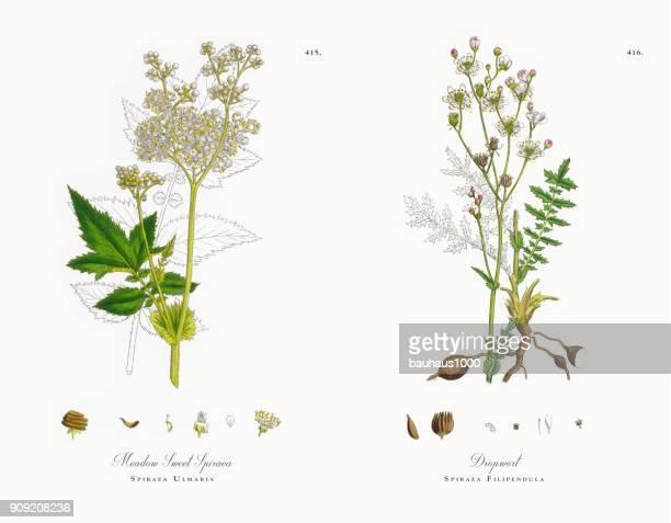 meadow sweet spiraea, spiraea ulmaria, victorian botanical illustration, 1863 - plant stage stock illustrations, clip art, cartoons, & icons