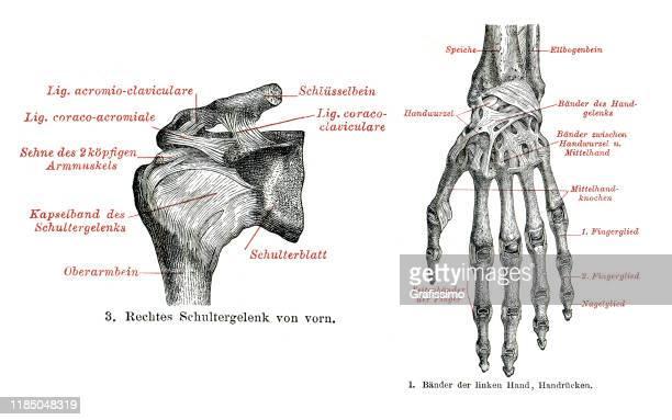 医療イラスト 人間の手肩 1896 - 靭帯点のイラスト素材/クリップアート素材/マンガ素材/アイコン素材