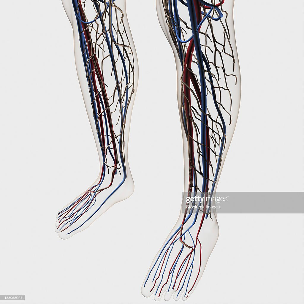 Medical Illustration Of Arteries Veins And Lymphatic System In Human
