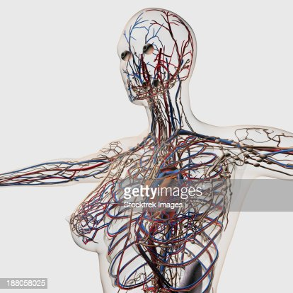 medical illustration of arteries veins and lymphatic