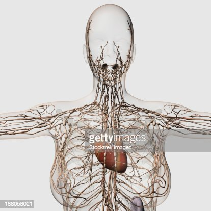Medical Illustration Of Female Lymphatic System With Heart At Center ...