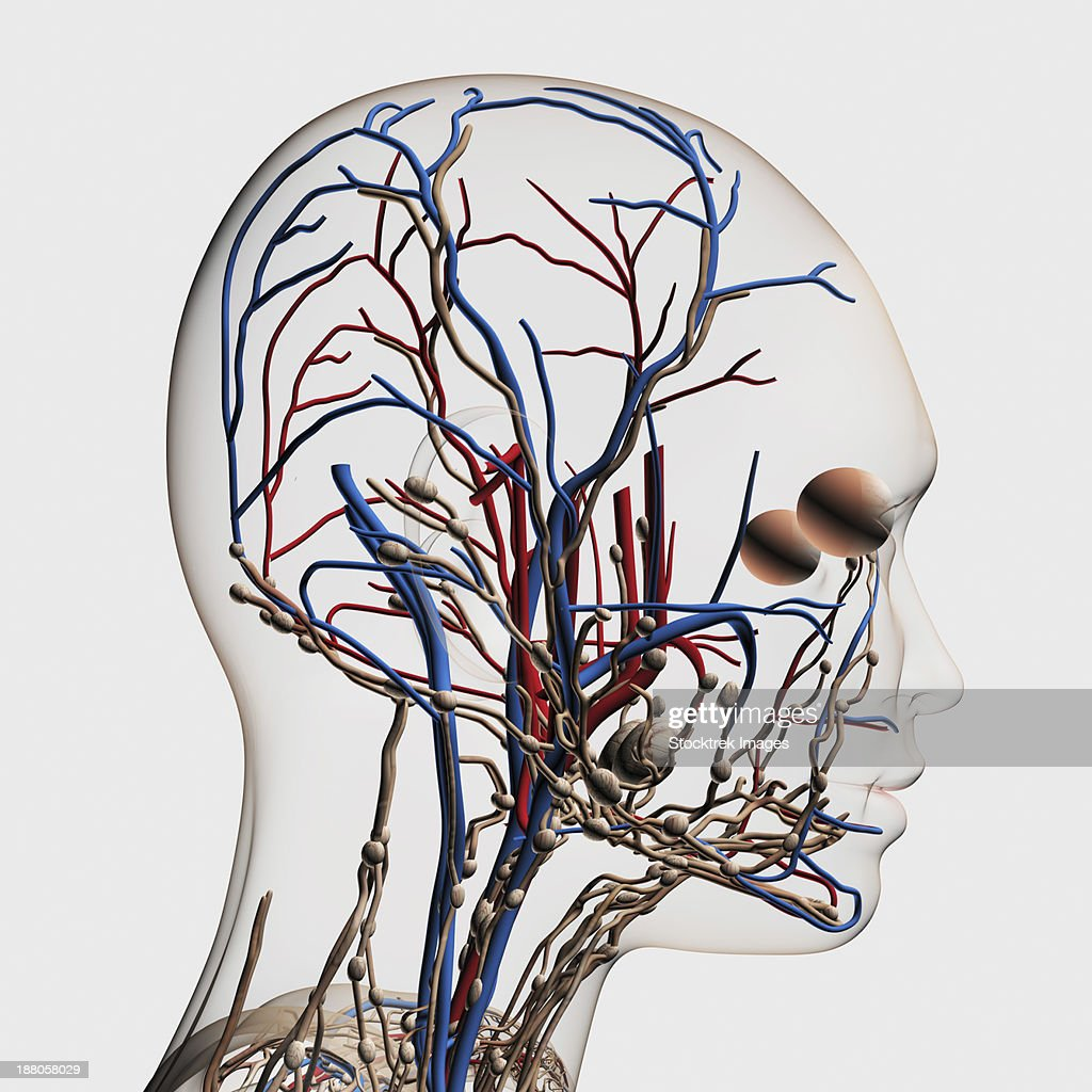 Medical Illustration Of Head Arteries Veins And Lymphatic