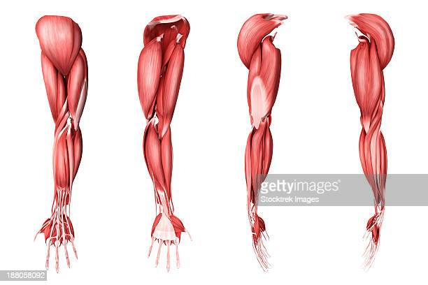 medical illustration of human arm muscles, four side views. - human muscle stock illustrations