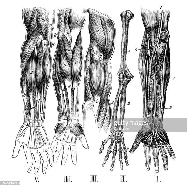 medical illustration of human arms with muscles bones and nervous - forearm stock illustrations, clip art, cartoons, & icons