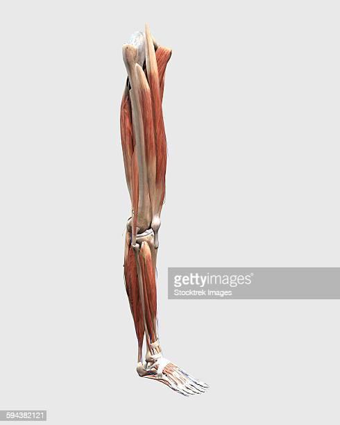 ilustrações, clipart, desenhos animados e ícones de medical illustration of human leg muscles, bones and joints. - perna humana