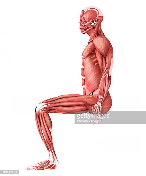 medical illustration of male muscles in a sitting position, side view. - forearm stock illustrations, clip art, cartoons, & icons