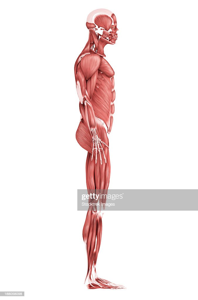 Side View Of Male Organs Diagram Car Wiring Diagrams Explained
