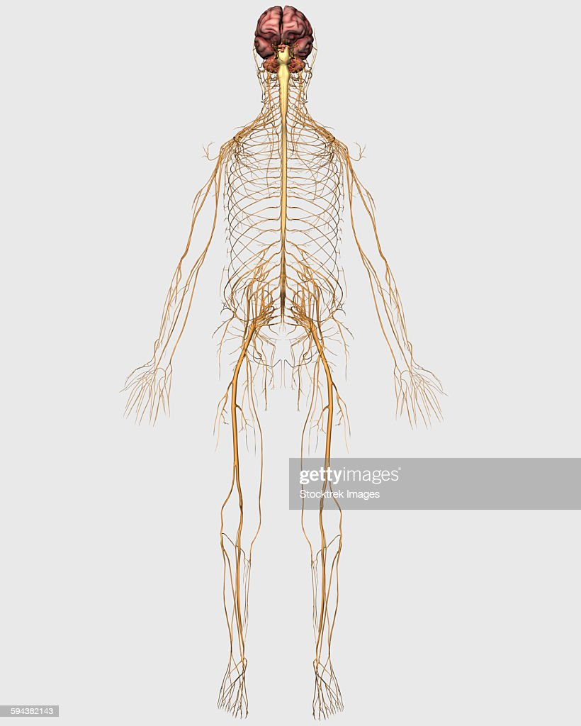 Medical Illustration Of Peripheral Nervous System With Brain Stock ...